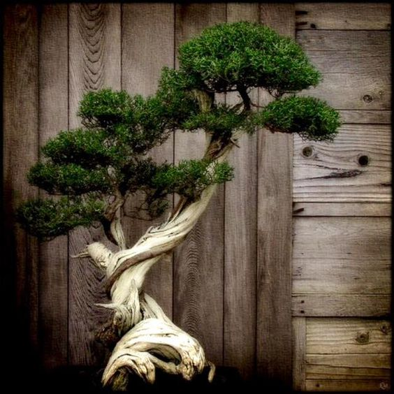 There are no borders in bonsai. The dove of peace flies to palace as to humble house, to young as to old, to rich and poor. So does the spirit of bonsai. ~John Yoshio Naka