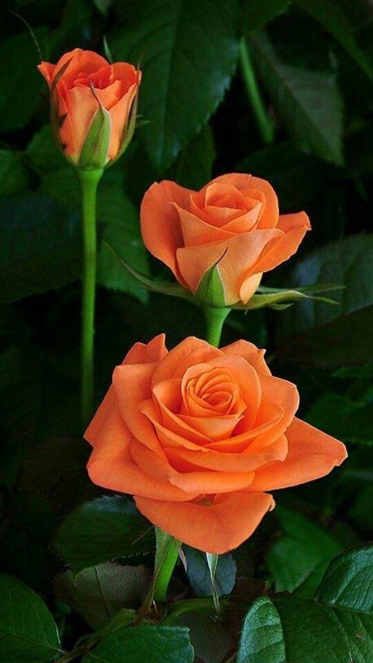 Orange Roses Three Times The Beauty Amazing Flowers Beautiful Rose Flowers Beautiful Flowers