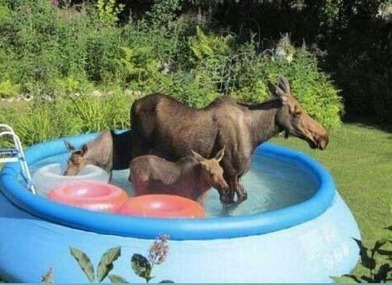Moose enjoy a kiddie pool in a Seward backyard in this photo by Carolyn Gordon.