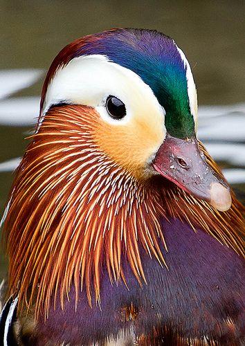 Mandarin duck supply pet hair dye,pet hair chalk