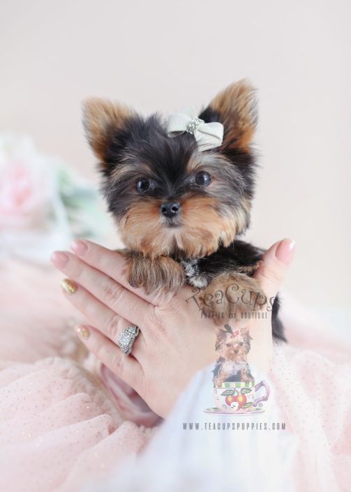 Tiny Yorkie Puppy By Teacup Puppies Boutique Yorkie Yorkshireterrier Puppy Yorkiepuppy Puppies Teacup Puppies Teacup Yorkie Puppy Yorkie Puppy For Sale