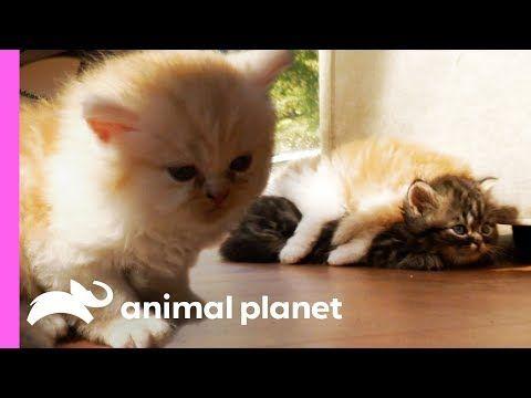 Noisy Little Munchkin Kitten Just Wants To Find A Friend Too Cute Youtube Munchkin Kitten Cute Kitten Gif Kittens Cutest