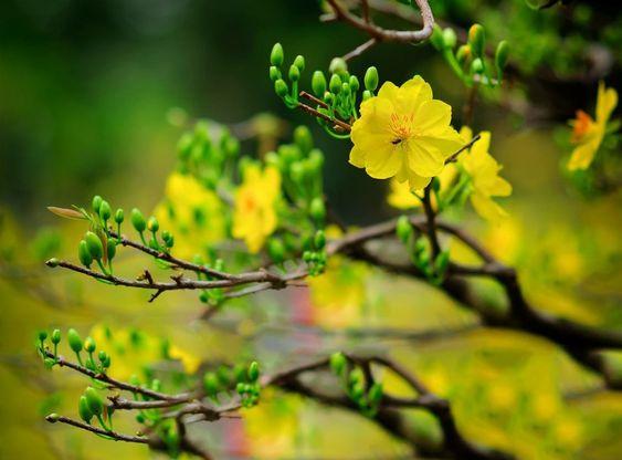 Ảnh đẹp về Hoa mai (mai vàng, mai trắng, nhất chi mai)