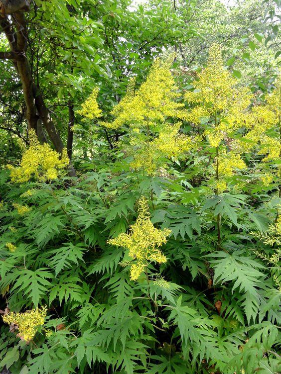 Das China-Greiskraut (Sinacalia tangutica) ist in Europa kaum bekannt - und wunderschön.