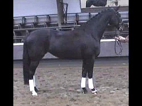 www.sporthorses-online.com 2009 Hanoverian Hunter / dressage mare 16.1 h...