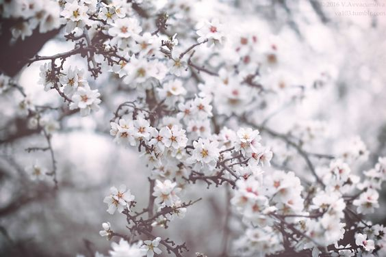 Ponderation — va103:   Almond trees blooming in fogiStockPhoto |...
