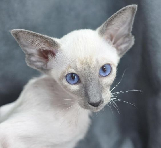 Siamese Kittens Oriental Siamese Cats In Illinois Siamese Cats For Sale Siamese Cats Siamese Cats Blue Point