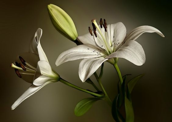 White Lilies by Annie Murray - Flowers Flower Arangements ( lilies, green, white, leaves, flowers, bud,  )
