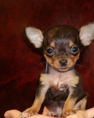 black and white and brown chihuahua puppy | Teacup ...