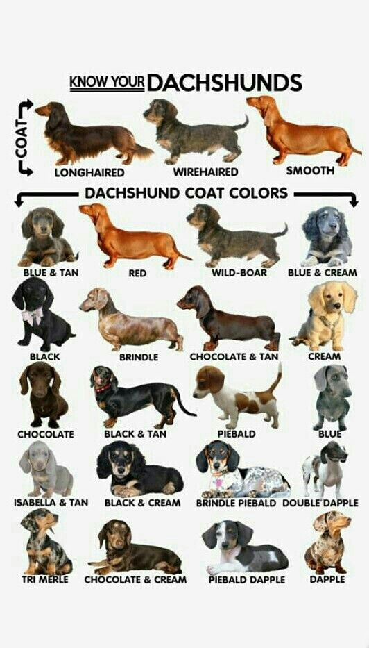 Dachshund Varieties Mini Dapple Dachshund Long Hair Mini