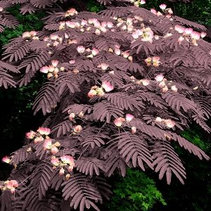 Chocolate Mimosa tree - can't grow it in my zone, but  isn't it lovely?