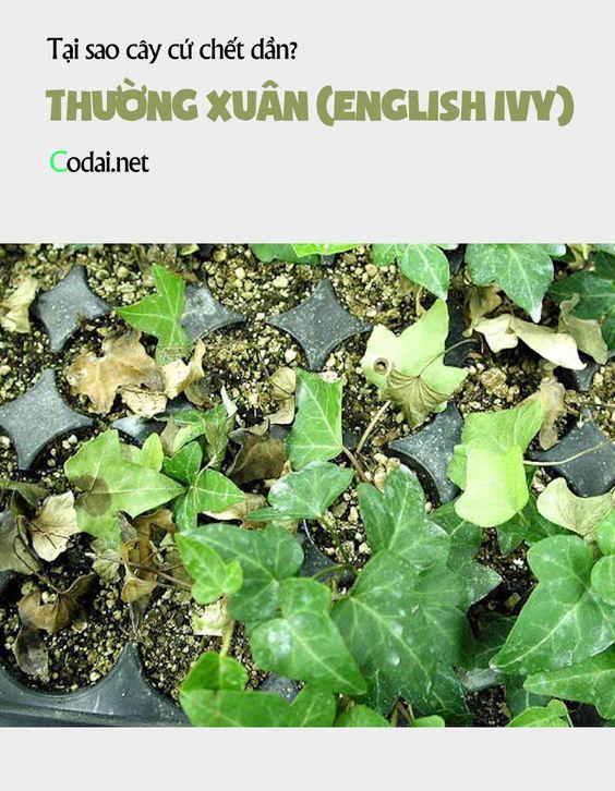 Tại sao cây Thường Xuân (English Ivy) trồng ở Hà Nội và các tỉnh miền Bắc cứ nâu, yếu rồi chết dần?