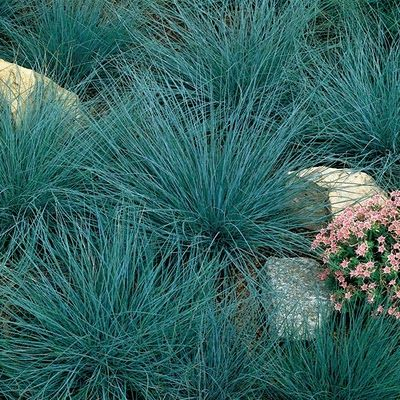 Blue fescue ornamental grass plant elijah blue in full for Full sun ornamental grass