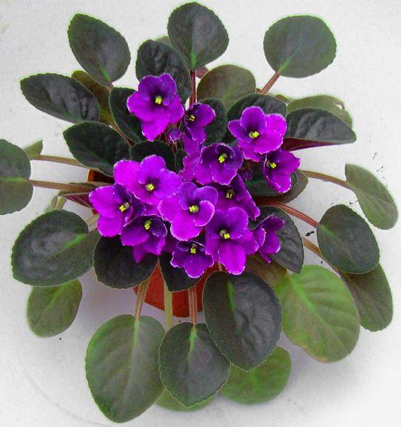 As violetas são lindas, baratinhas e fáceis de cuidar. Sabia que elas podem durar de 9 a 12 meses se souber lidar com elas? Tipo de vaso O primeiro passo é: