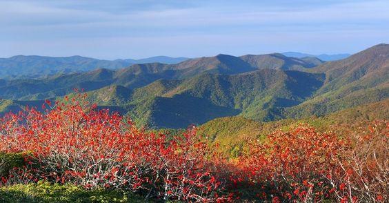 Tramazeiras (Sorbus aucuparia) crescem no Craggy Gardens na Carolina do Norte, EUA. Alguns acreditam que a fruta é venenosa, mas servem de comida aos pássaros e para fazer compota