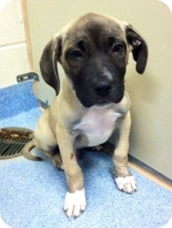 Joplin, MO - Pit Bull Terrier/Labrador Retriever Mix. Meet Jude 81338 a Puppy for Adoption.