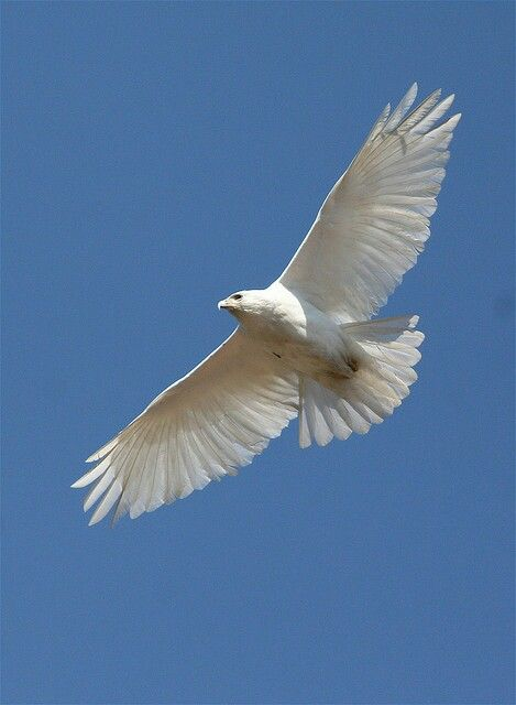 White hawk flying | Raptors | Pinterest | Hawks