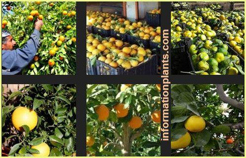 الحمضيات Citrus حمضيات النبات انواع الاسماك مع الصور معلوماتية نبات حيوان اسماك فوائد Outdoor Structures Outdoor Citrus
