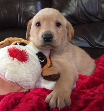 Litter Of 4 Labrador Retriever Puppies For Sale In Harrison Ar