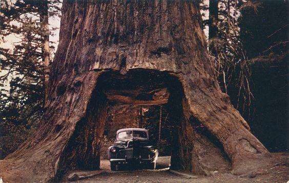 Chandelier_Drive_Thru_Tree_in_Underwood_Park_on_the_Redwood_Highway_C583 (2).jpg 1.042×660 píxeles