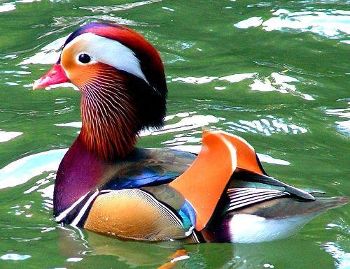 Mandrian Duck