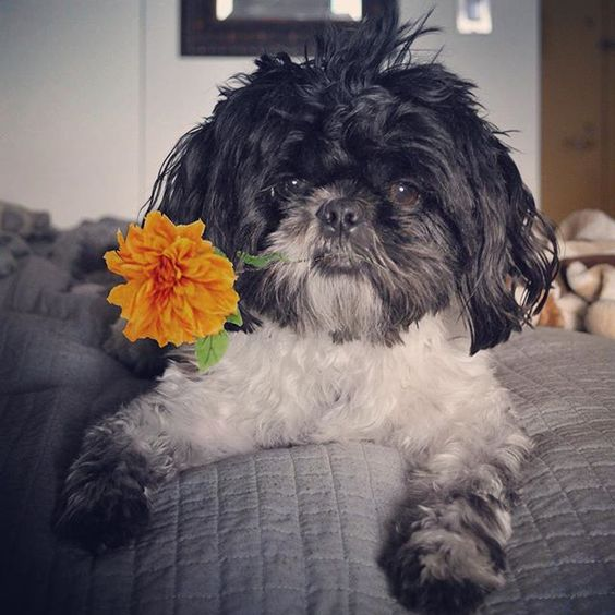 ©Oliver Bea (@oliverbeafromnyc) • Instagram photos and videos Take time to smell the flowers #flowers #flower #instadaily #instafluff #instadog #dogsofinstagram #dogstagram #ruffpost #weeklyfluff #huffpost #buzzfeed #buzzfeedanimals #pet #pets #petstagram #petsofinstagram #animal #animals #animallovers #animalsofinstagram #dog #dogs #doglover #dogsofig #dogsofnyc #shihtzu #shihtzus #shihtzulovers #shihtzusofinstagram #barkbox