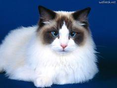 mink bicolor ragdoll | São gatos de porte grande, com boa estrutura corporal.