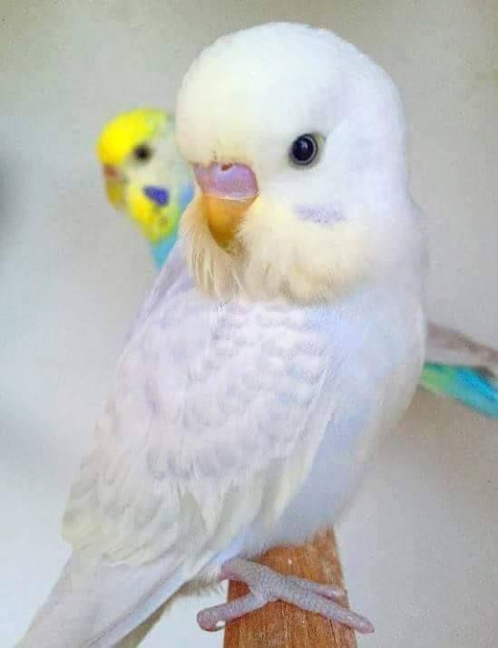 White Baby Parakeet https://www.facebook.c...