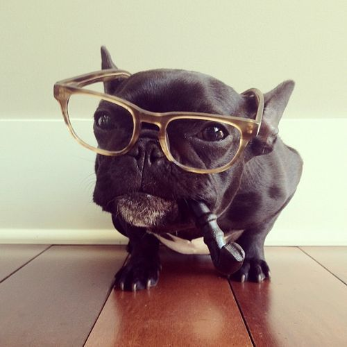 Adorable Portraits of Trotter the French Bulldog Modeling Various Outfits