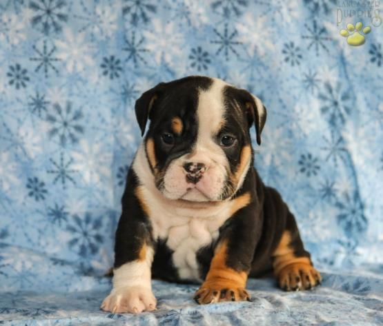 Romeo English Bulldog Puppy For Sale In Newmanstown Pa With