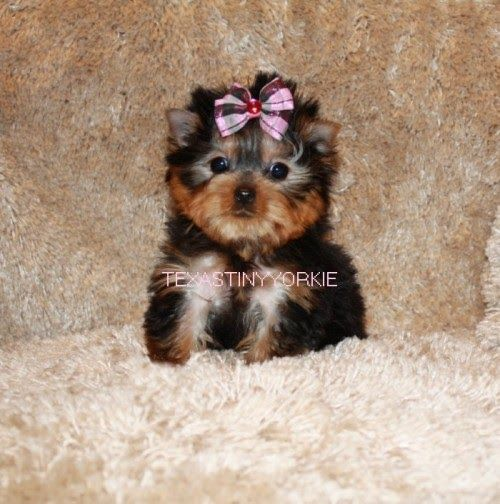 Teacup Yorkie For Sale Yorkie Breeder Yorkie For Sale United