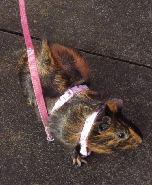 Guinea pig on lead: Pig Pigs, Piggie Pig, Tulips Tolerate, Guinea Piggies, Guinea Pigs