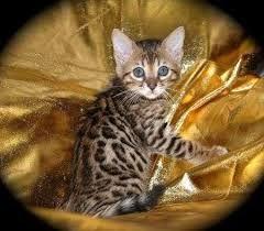 gato leopardo asiático bebe - Buscar con Google