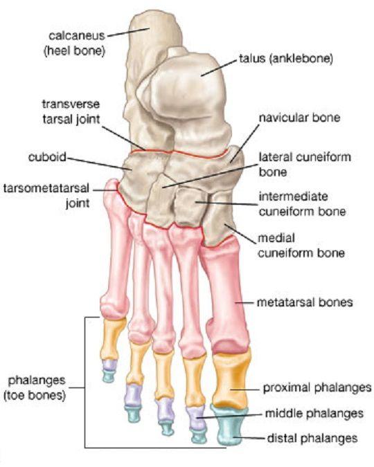Bones of the Leg and the Foot - skeleton of the hindlimb | تشريح ...