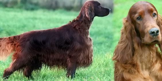 An Irish red setter thought to have been poisoned at a world famous dog show actually ingested the toxins more than a day after attending Crufts, it has been revealed.   Jagger died tragically after returning to Belgium with his owners after the sh...