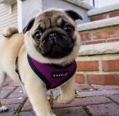 Purple Puppia Soft Harness Available At Www Ilovepugs Co Uk Sizes