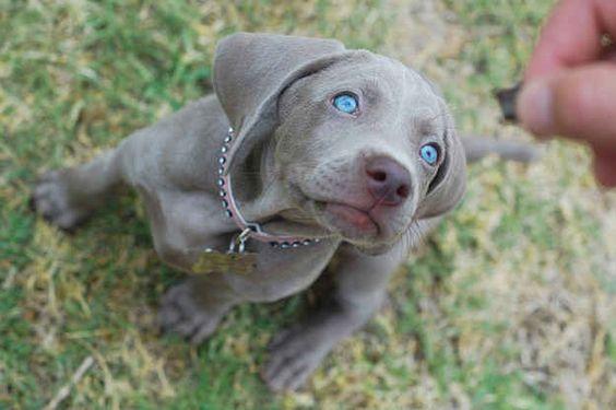 Este encanto no tiene ni idea de que tiene los ojos más bonitos de todos los cachorros...