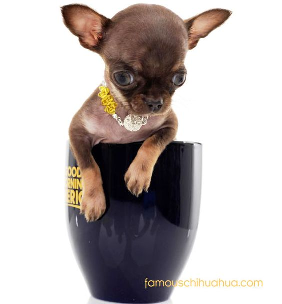 miracle milly, the world's smallest dog