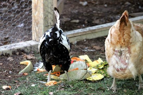 Do you have any chickens in your flock with missing feathers
