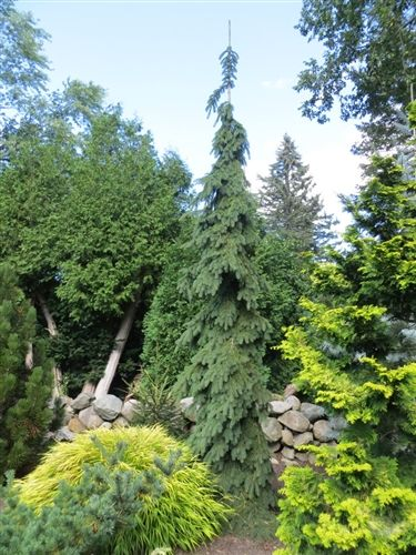 Weeping white spruce this tree pure awesome so narrow for Tall evergreen trees for small gardens