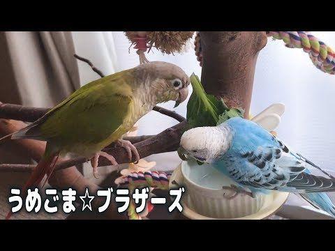 うめ ごま ブラザーズ しつこい鳥と寛大な鳥 Persistent