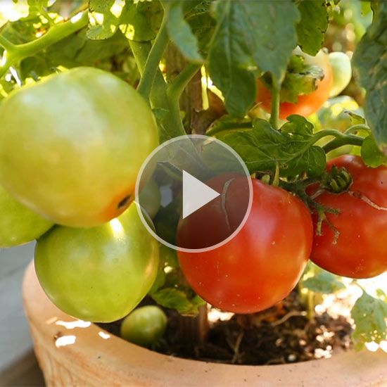 Watch we have the best tips for growing tomatoes in containers - Best tomato plants for container gardening ...