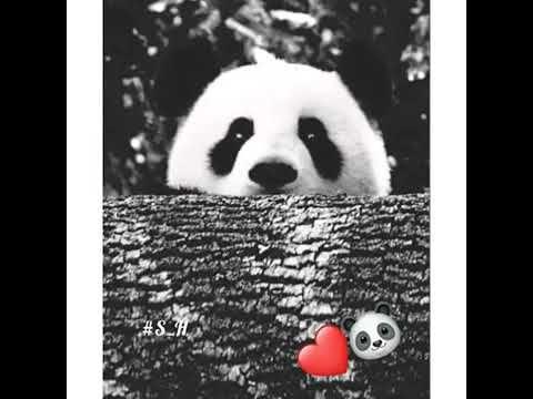 اجمل صور الباندا اويلييي يخبل ع ـآش ـق ة آل ب ـآن د آ Youtube Panda Bear Panda Bear