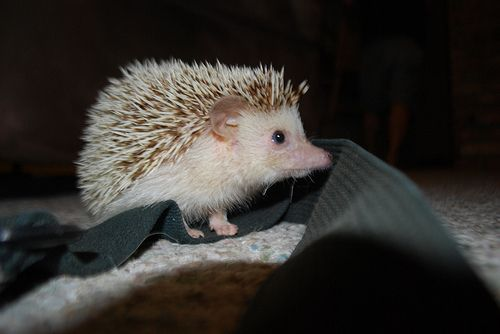 I have a hedgie and I'm still trying to take cute pics of her, this is super cute!