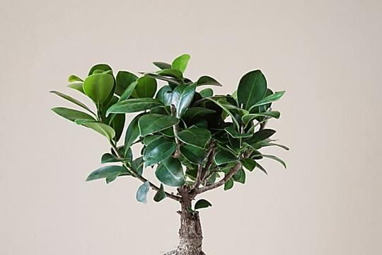 What Causes Peace Lily Leaves To Turn Yellow Or Brown Ficus Ginseng Bonsai Bonsai Tree Indoor Bonsai Tree
