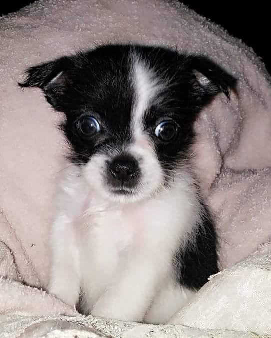 Teddy Bear Chihuahua Mix Dog Breeds Chihuahua Mix Animals