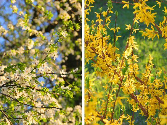 Цветение весной на Летнем озере, г. Калининград. Фото: Evgenia Shveda