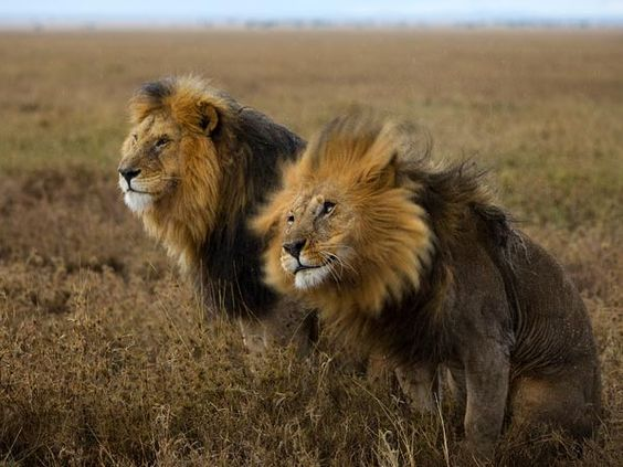 A Guide to Aging Animals from National Geographic: Lions, as seen in Serengeti National Park, can be dated by examining their fur and other attributes.