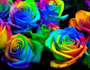 How to grow your own rainbow roses!