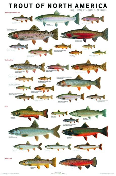Trout of north america recipe trout fishing charts for Trout fishing in america band